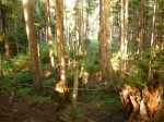 Beautiful forest albeit 2nd growth